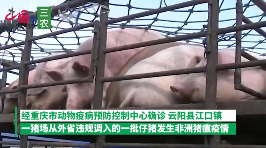农业农村部:重庆违规调入仔猪发生非洲猪瘟疫情,死亡64头