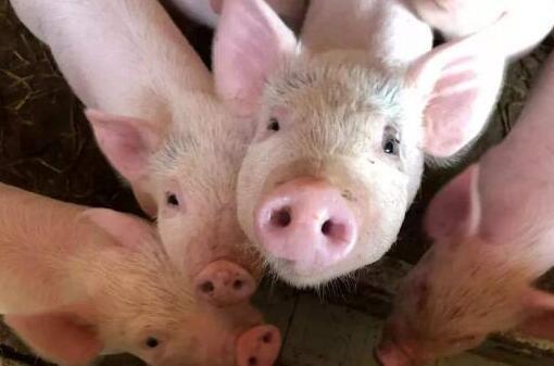 """江苏:两部门联手打击""""炒猪""""行为,保障生猪养殖业安全"""