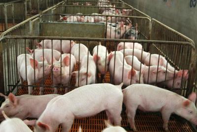 4月7日全国各省市20公斤仔猪价格报价表,整体来看,广州地区上涨明显!