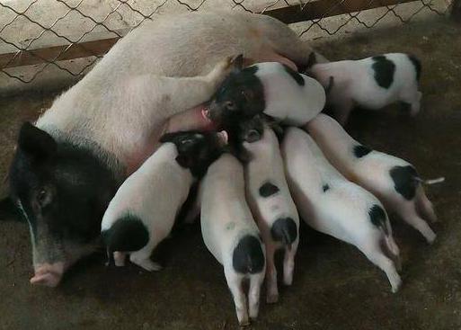 4月7日全国生猪价格土杂猪报价表,主要以下跌为主,宁夏最为猛烈!