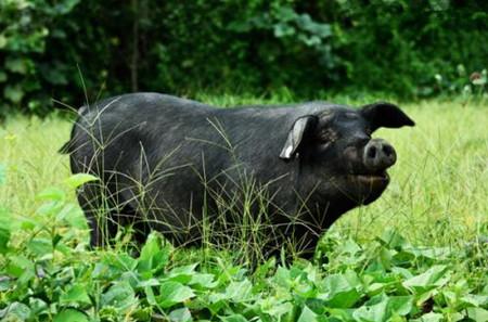 4月7日全国各地区种猪价格报价表,山东诸城二元母猪高达6000元/头!