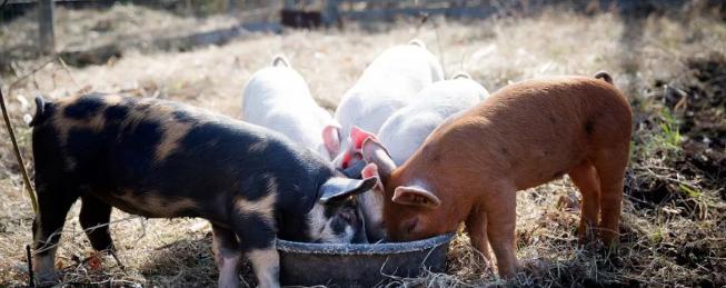 养猪人福音!首创生猪保险风险补偿,年度补偿最高可达500万元!
