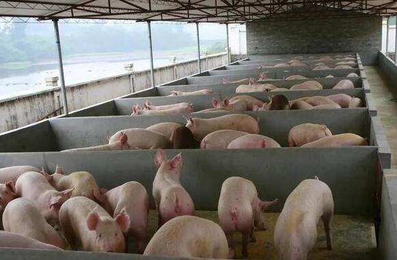 山东:生猪价格回调 仍处高位