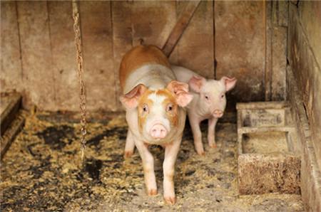 落实恢复生猪生产扶持政策 溧阳出台五项举措