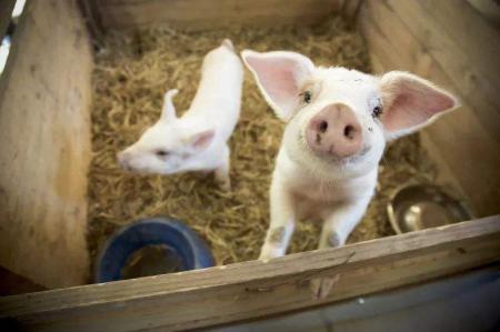 从养猪大县正阳看河南生猪生产,稳产扩能正发力!