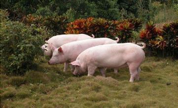 重庆荣昌:生猪产能加快恢复 危中寻机升级产业
