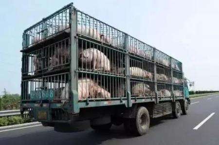 农业农村部:重拳打击违法违规调运生猪行为 严防非洲猪瘟疫情反弹