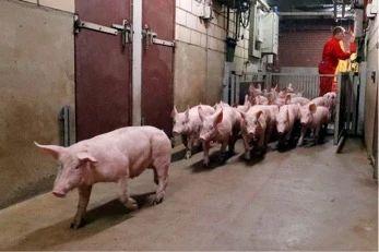 生猪转栏的实用小技巧!