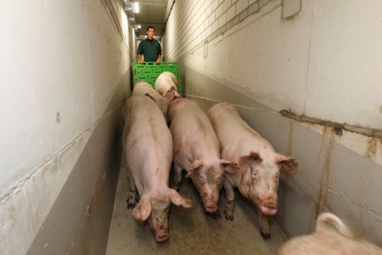 John Gadd:人工转栏应如何设计猪舍