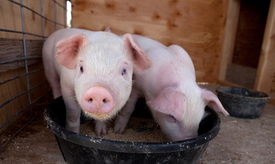 4月9日全国各省市15公斤仔猪价格报价表,仔猪采购难,价格继续上涨!