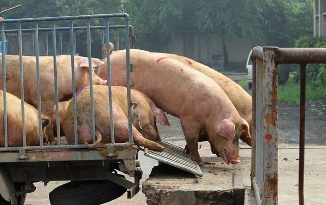 涉案800万 牧原股份多名员工伙同他人为猪少称重