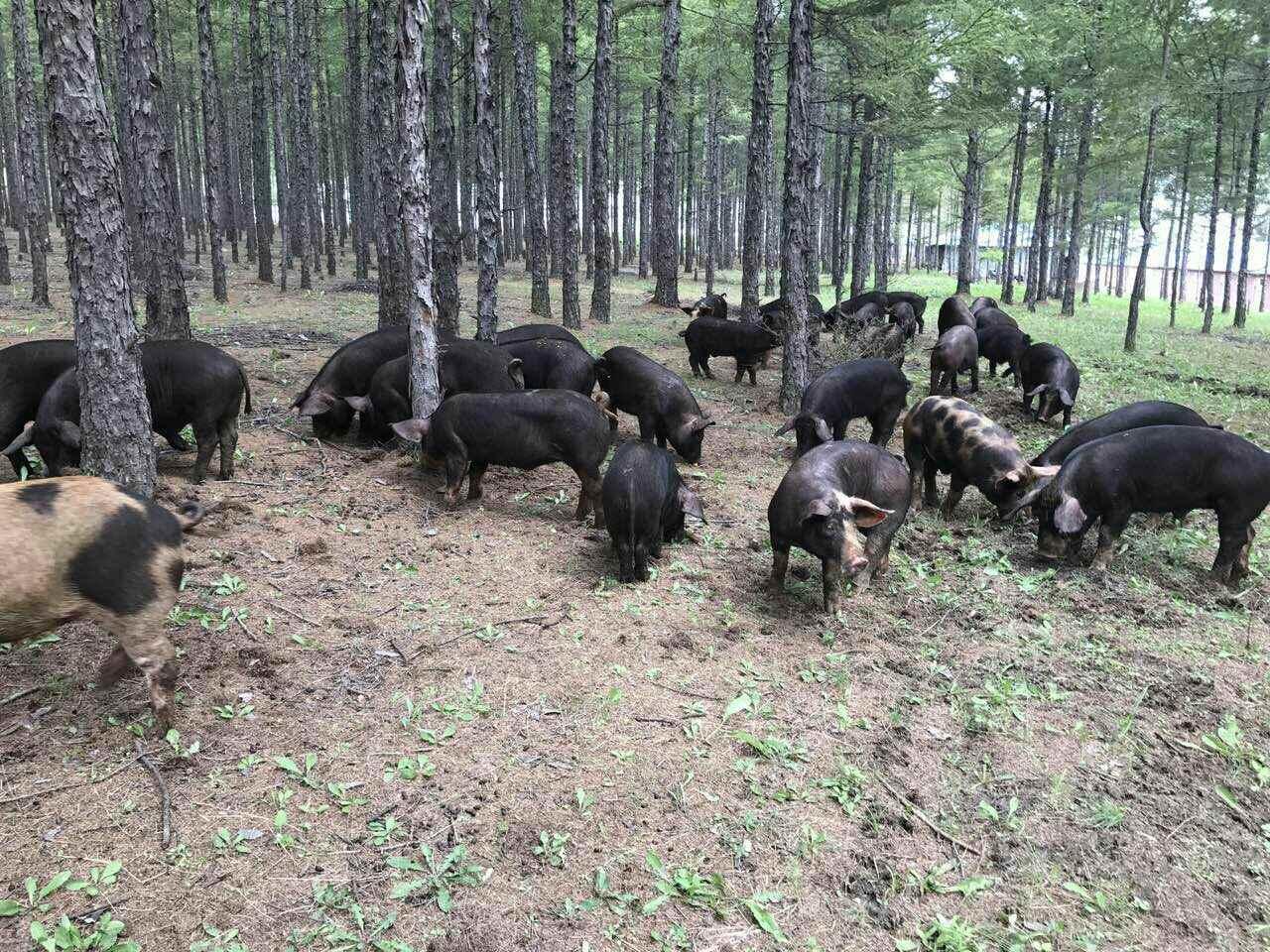 """万州百万头生猪生态养殖项目探索""""产业生态化、生态产业化""""之路"""