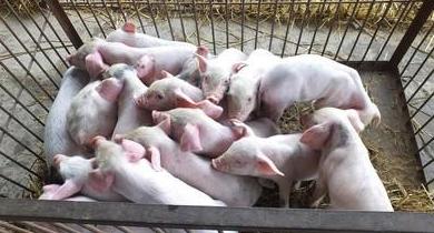 4月10日全国各省市15公斤仔猪价格报价表,补栏热情高,仔猪价格上涨明显!