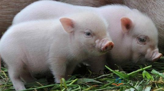 4月10日全国各省市10公斤仔猪价格报价表,上涨趋势明显,最高可达200元/公斤!