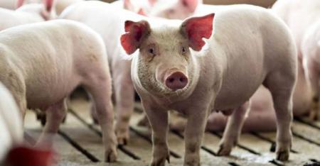 广东东莞:发放外地采购调入生猪补贴2819.41万元
