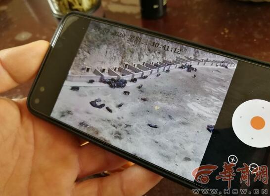 """陕西:花8888元""""云养猪"""" 榆林这家公司直播卖猪"""