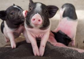 农行衡水分行为生猪产业 稳价保产 提供金融支撑