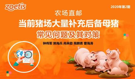 实用干货!当前猪场大量补充后备母猪常见问题及其对策
