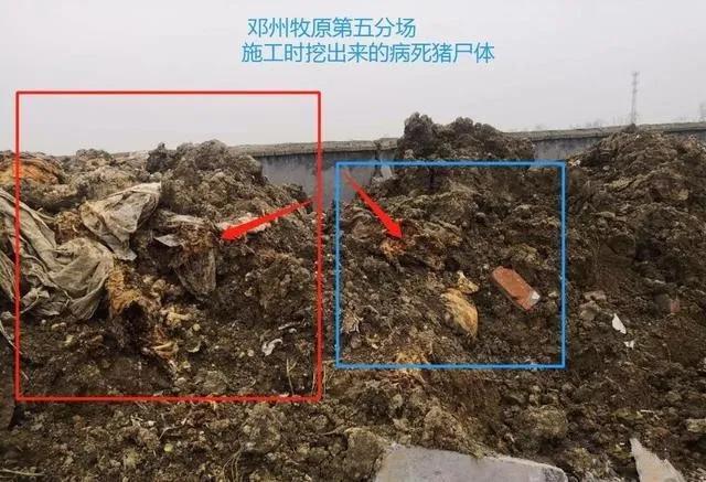 """网传邓州牧原""""偷埋病死猪"""" 当地已成立联合调查组"""
