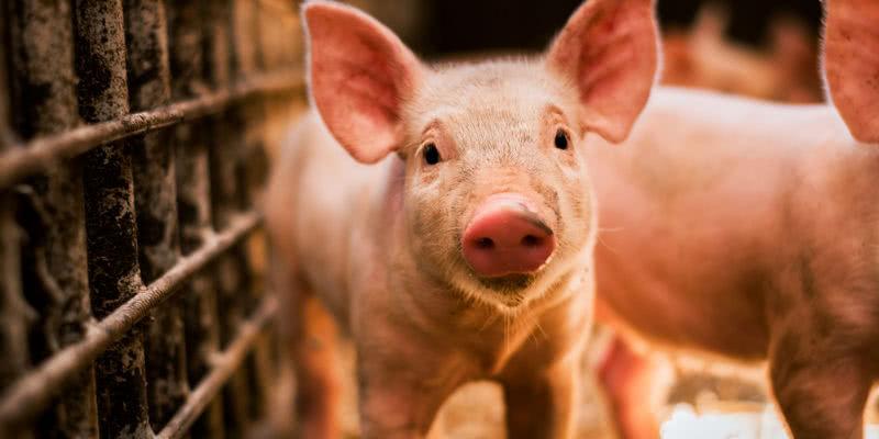 受新冠疫情影响,美国生猪期货断崖式下跌!