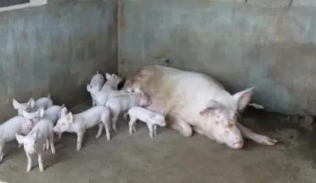 新手养猪需要注意什么 这四点不得不警惕