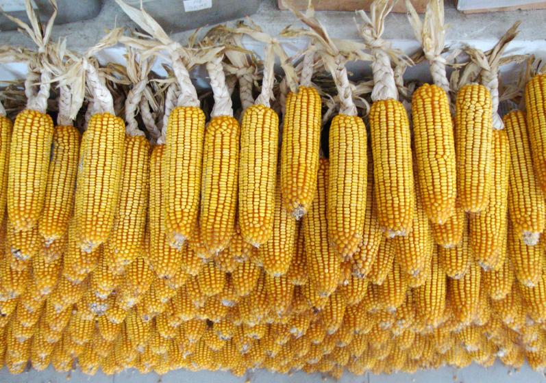 4月13日全国玉米价格行情表,整体为上涨趋势,北京涨幅最大!