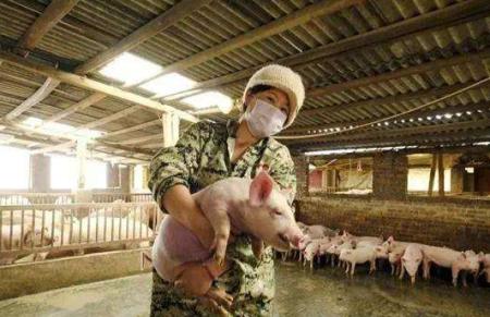 芜湖32家生猪养殖场复养 自繁自养生猪每头能赚2600元以上