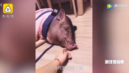 滞留武汉宠物猪独自在家生活两个月 肚子都瘦没了