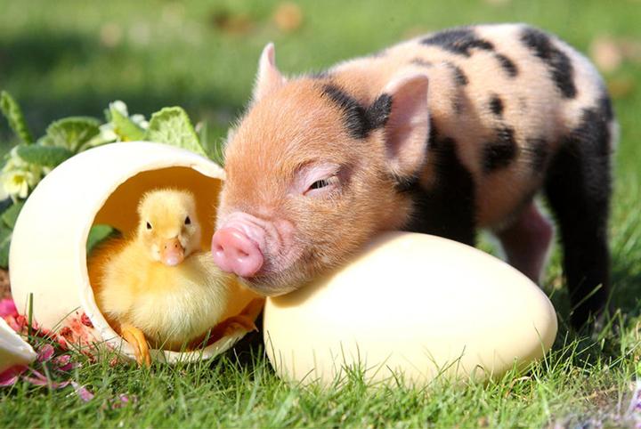 美生猪期货断崖式下跌,对我国猪肉价格会有影响吗?