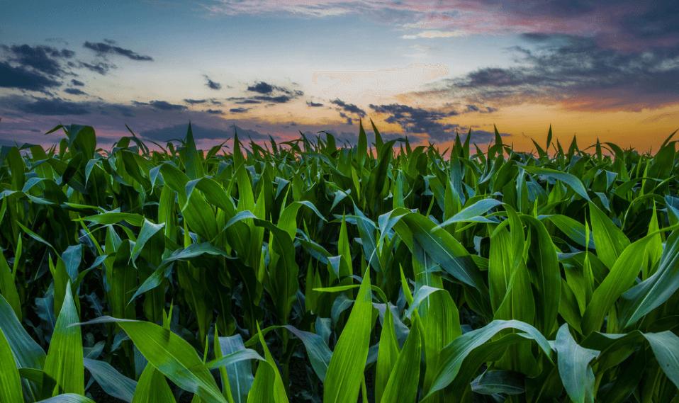 4月14日全国玉米价格行情表,玉米市场看涨,浙江涨幅最高!