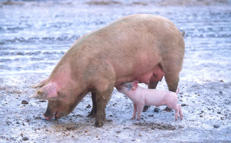 猪老板,当仔猪吮吸一头站立的母猪的乳头时,说明什么问题?你懂吗?