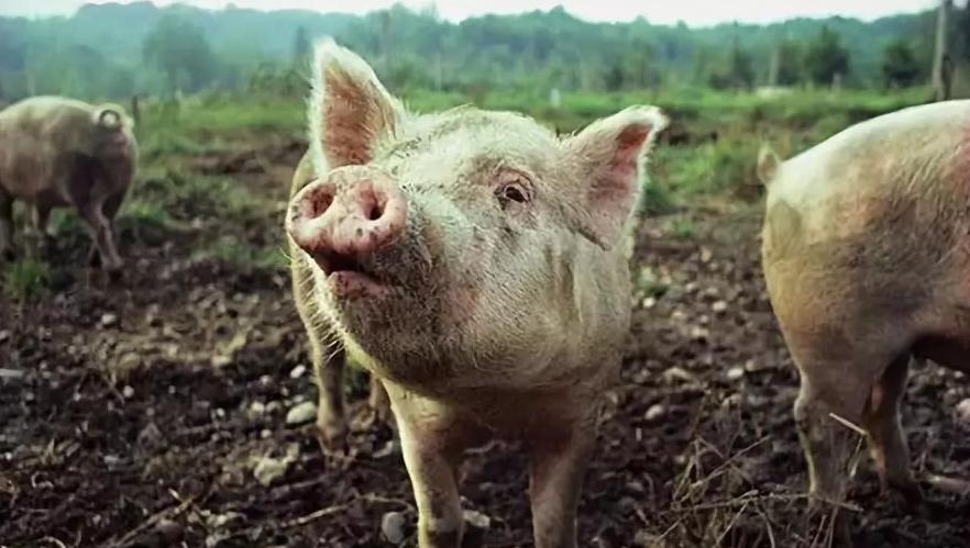 4月14日全国生猪价格外三元报价表,全国猪价以上涨为主,其中北方多地回涨明显!