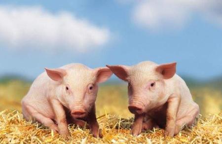 """青岛市""""点对点""""扶持生猪生产 广泛宣传养猪补贴优惠政策"""