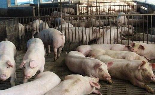 新增1.2亿头!2019年24家养猪大集团疯狂布局四川、广东、山东