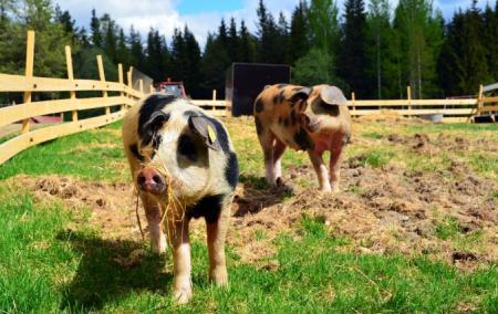 农业一季报养猪高度景气 养鸡短暂承压