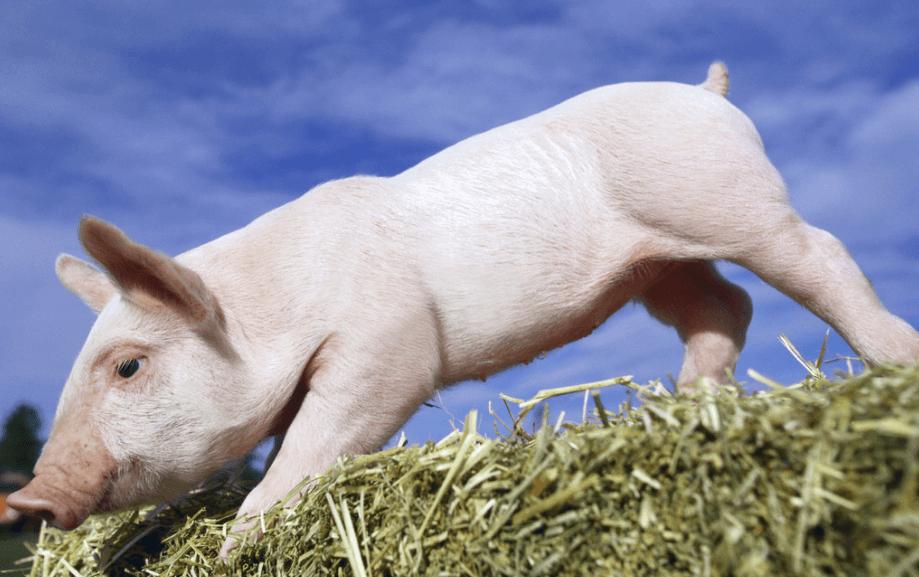 养猪人看看!都是啥原因导致猪的生长缓慢?