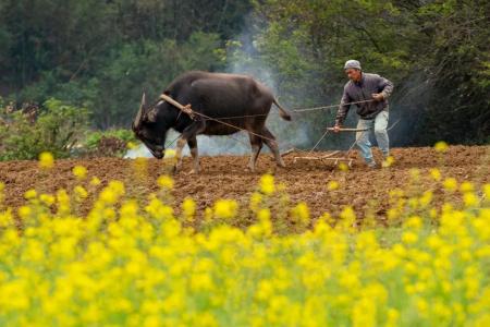清远新增生猪养殖场105家,早稻面积5万亩