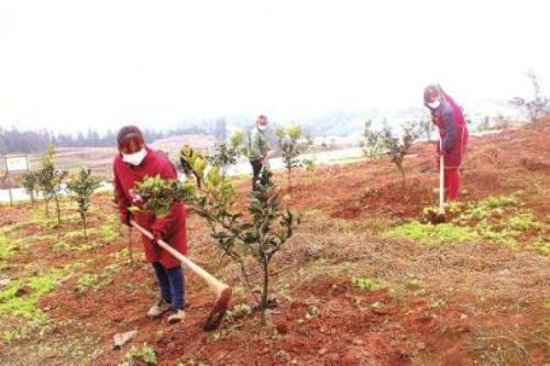 种养循环双丰收 养猪场配套千亩柑橘园