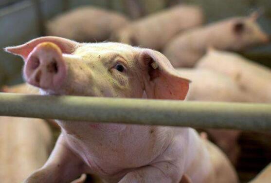 南昌市多措并举稳定生猪生产 督促865家规模猪场提升改造