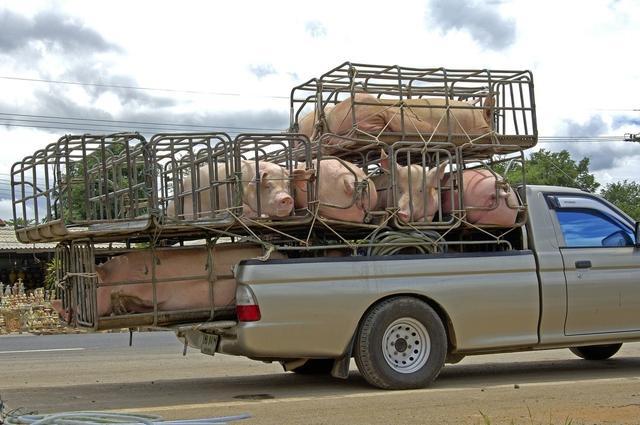 查猪、拦车、抓人!广东、上海、江苏、黑龙江等多省对生猪非法调运宣战!