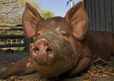 4月16日全国生猪价格土杂猪报价表,整体以下跌为主,但有14省市持续上涨!