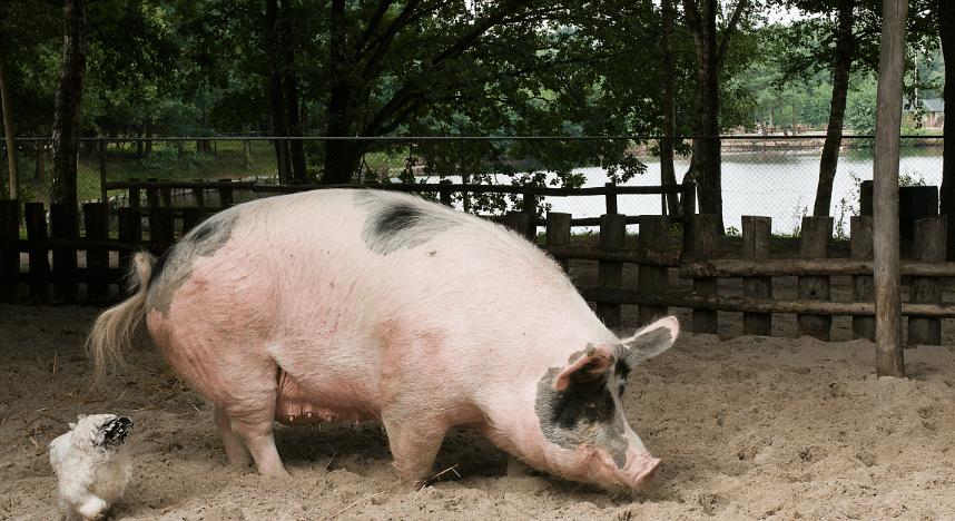 4月16日全国生猪价格内三元报价表,上涨省市明显增多,上海上涨最为明显!
