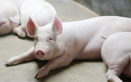 """甘肃灵台多举措确保生猪养殖安全 建立""""一对一""""监管责任制"""