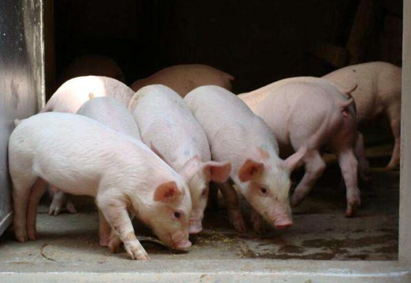 邮储银行滨州市分行助推生猪产业稳产保供