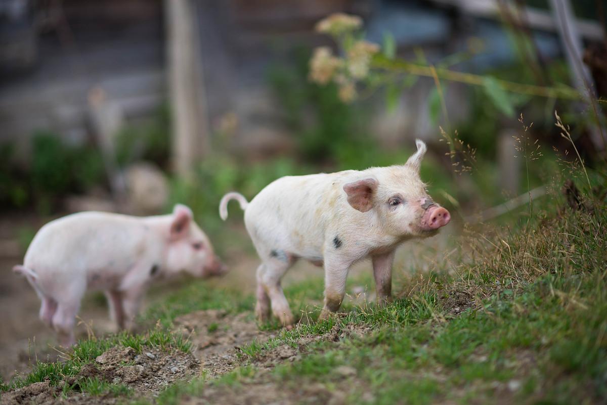 4月16生猪价格走势,全国猪价整体以下跌为主,华北地区集中上涨!
