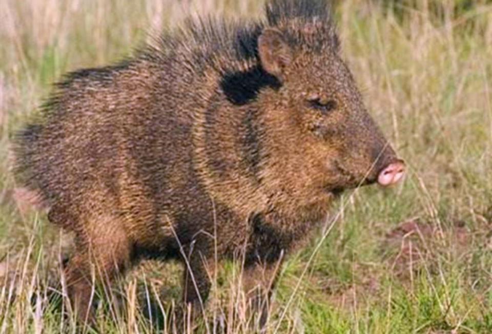重庆一男子安放电网猎捕野猪,获刑十个月 !