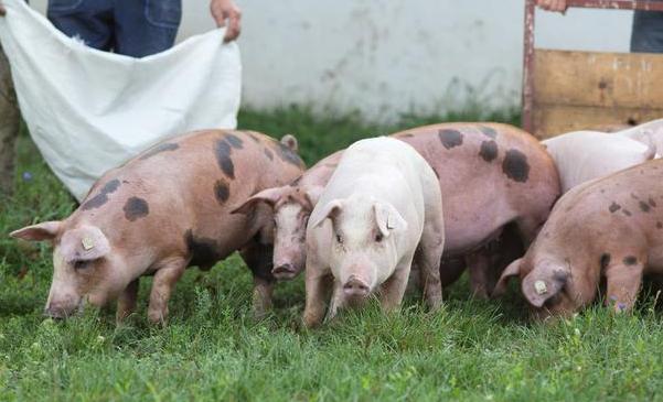 """猪价、粮价""""突变"""",农民迎来3个致富机会?就看谁能把握住了"""