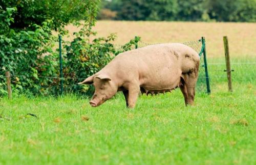 春季养猪注意做好疾病防控 应调配适宜营养科学饲喂