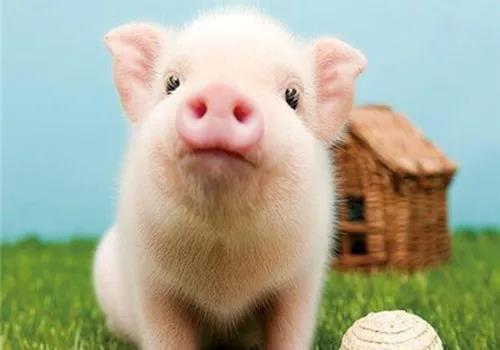非瘟疫情有风险 外购仔猪须谨慎