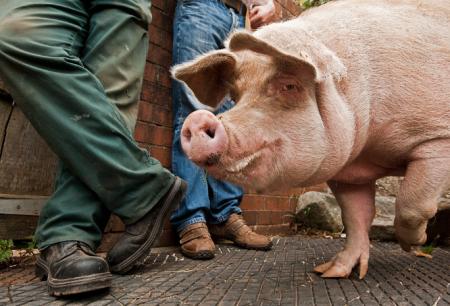 """贫困户逆袭为""""养猪达人"""" 自学养猪技术成村里""""养猪专家"""""""